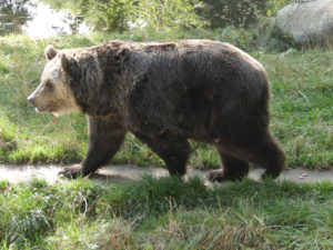 Braunbär im Tierpark Hexentanzplatz Thale