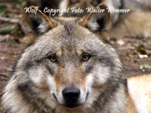 Wolf - Foto: Walter Wimmer